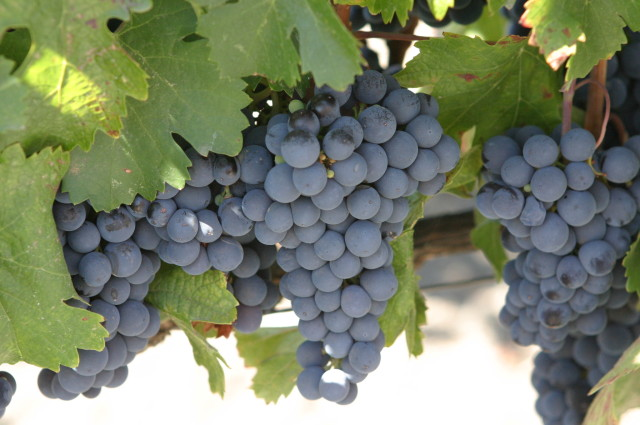 Source: http://en.wikipedia.org/wiki/Malbec