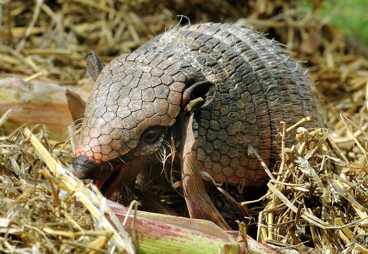 An armadillo eats a corn cob
