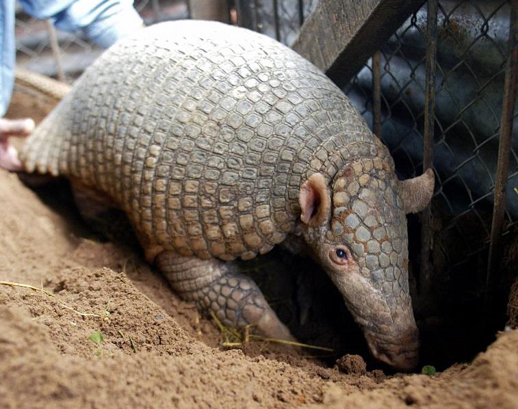 A giant armadillo (tatou) - Source: Norberto Duarte/AFP/Getty Images