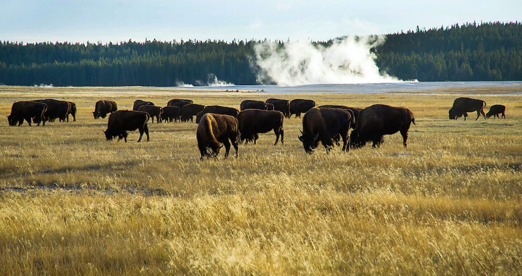 A small portion of the Yellowstone buffalo herd graze in the early evening of October 8, 2012 in Yellowstone National Park in Wyoming. Yellowstone protects 10,000 or so geysers, mudpots, steamvents, and hot springs. Yellowstone National Park is America's first national park. It was established in 1872. Yellowstone extends through Wyoming, Montana, and Idaho. The park's name is derived from the Yellowstone River, which runs through the park. (Photo by Karen Bleier/AFP/Getty Images)