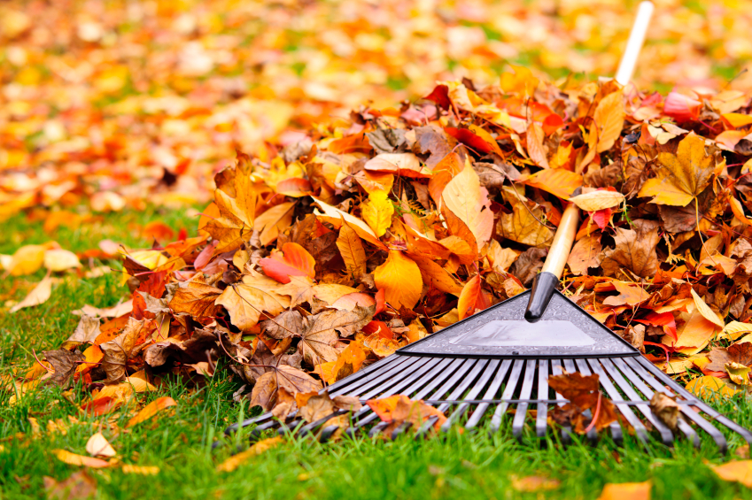 A rake and felled leaves