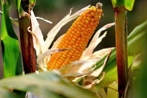 In the Future, Will Corn Be Food or Fuel?