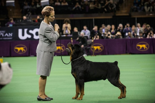A Rottweiler competes in the Westminster Dog Show on February 11, 2014 in New York City. The annual dog show has been showcasing the best dogs from around world for the last two days in New York.