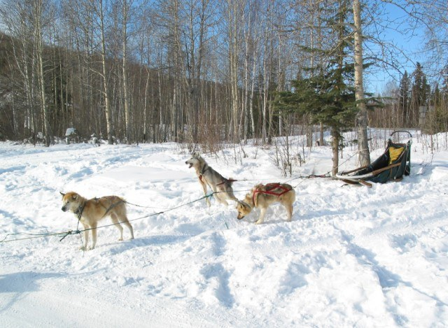 Dog sledding, Fairbanks Alaska