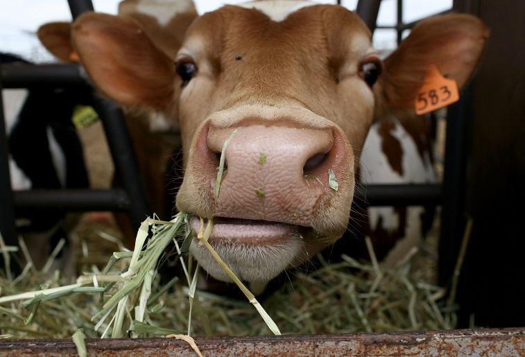 A cow at a dairy farm