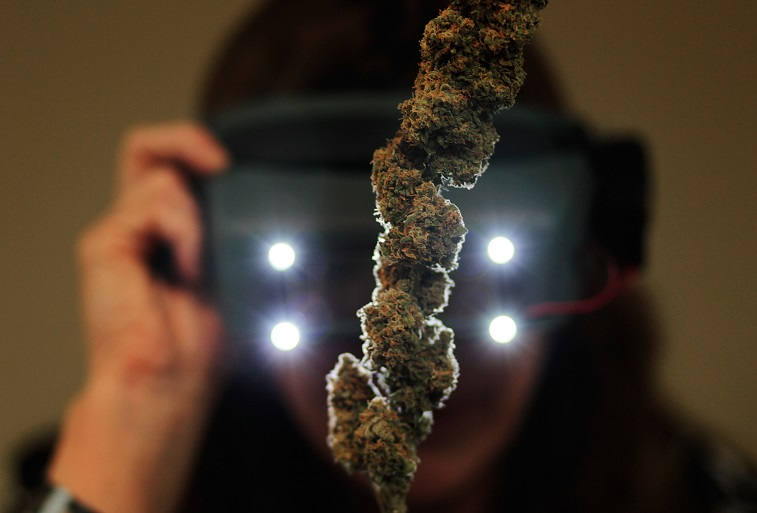 A woman uses special magnifiers to inspect marijuana buds