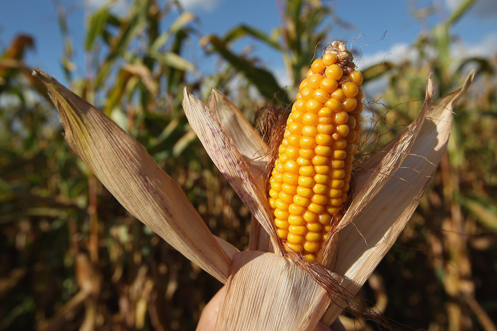 The photographer holds an ear of corn he found on the ground next to a corn field during harvest on September 13, 2012 near Teltow, Germany. The annual corn harvest is underway in the German state of Brandenburg, where corn is widely planted and used for animal feed as well as the produciton of biofuels. Analysts recently predicted that German corn farmers are likely to benefit from global warming, as higher temperatures will mean an earlier planting season. (Photo by Sean Gallup/Getty Images)