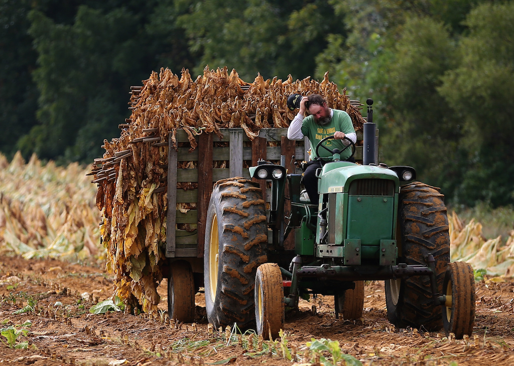 Farmer S.L. Brady drives a tractor pulling a trailer full of tobacco leaves so they can be hung and dried in a barn at Lewis Farm September 29, 2014 in Owings, Maryland. Tobacco has been grown on the Lewis Farm for over 60 years and still requires to be harvested by hand. Starting next month the remaining tobacco growers in the U.S. will be forced to compete in the open market and will stop getting buyout checks from cigarette makers to compensate them for surrendering their quotas. (Photo by Mark Wilson/Getty Images)