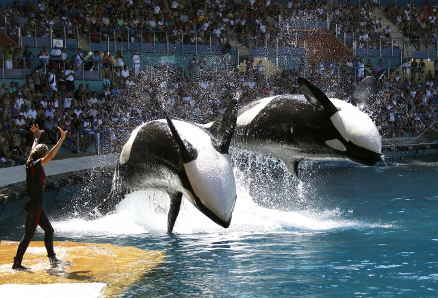 Orca whales in Blackfish
