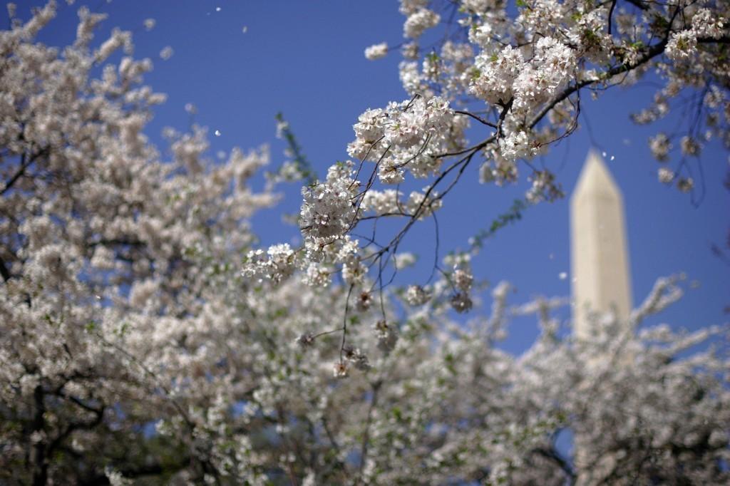 Washington, DC Cherry blossoms