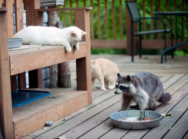 cats and racoon