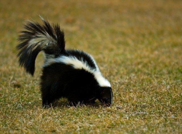 Skunk (Mephitis mephitis) Sniffs in the Grass