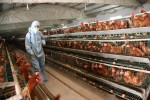 Avian Flu: How Breakfast Is In Danger, and So Is Ice Cream