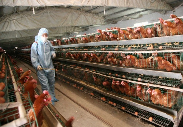 Chickens in cages at a farm