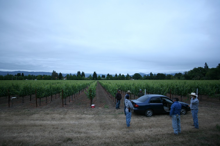Vineyard workers for a Napa Valley winem