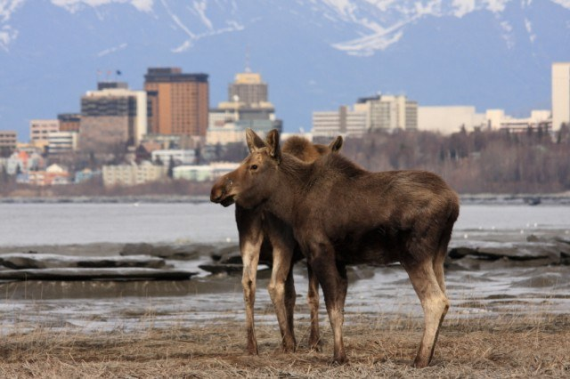 Anchorage, Alaska with moose in the foreground