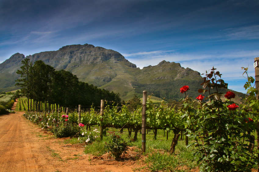 South Africa, wine, vineyard