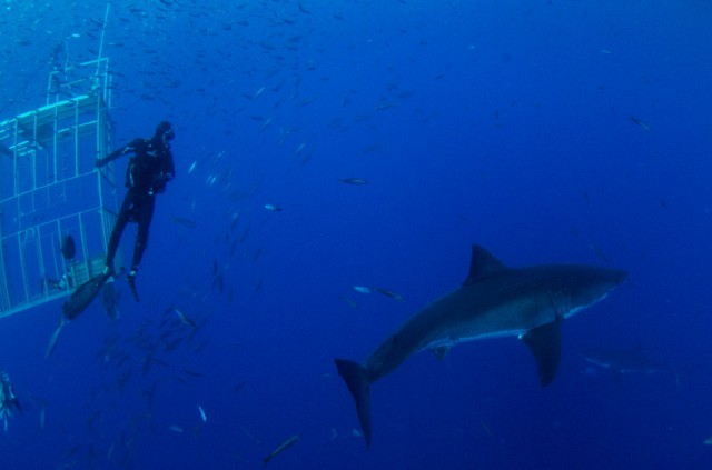 diver swims with sharks