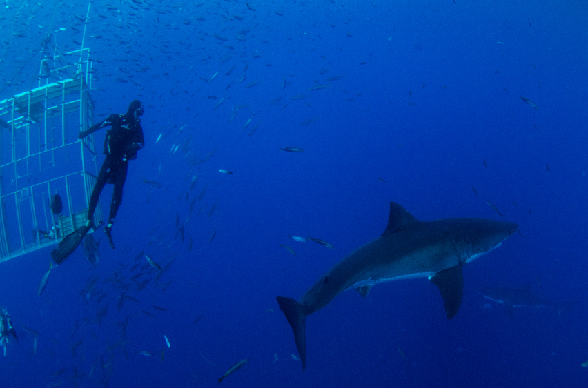A diver with a shark