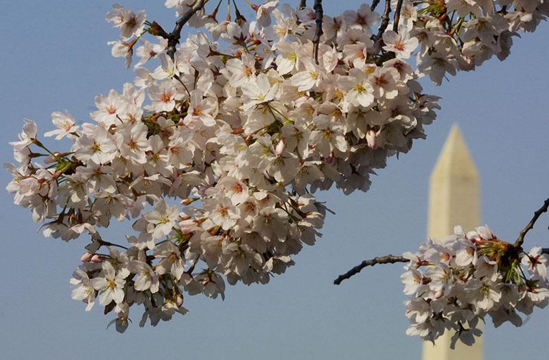 Cherry Blossoms. Washington D.C.