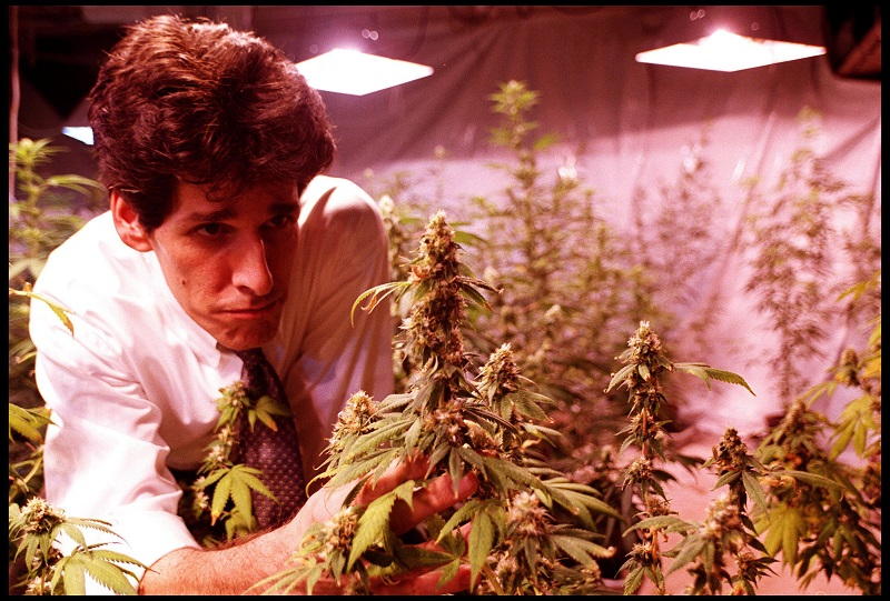 A marijuana grower inspects a plant