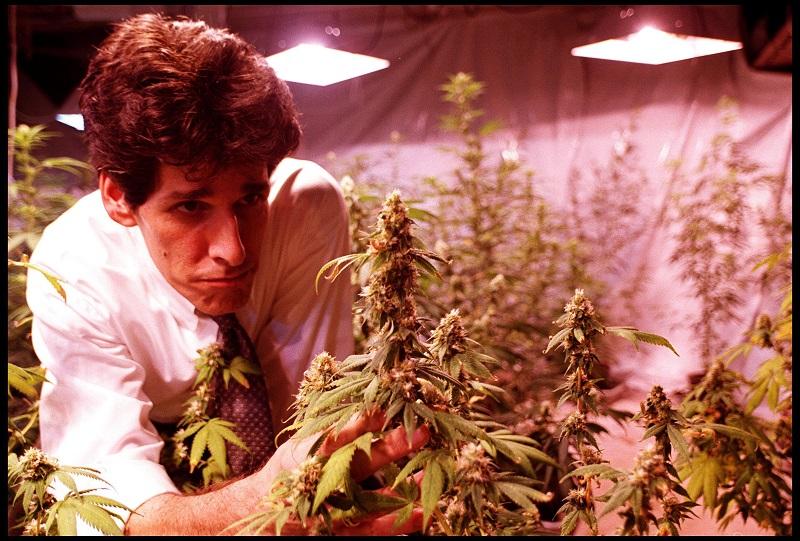 A marijuana grower inspects a plant