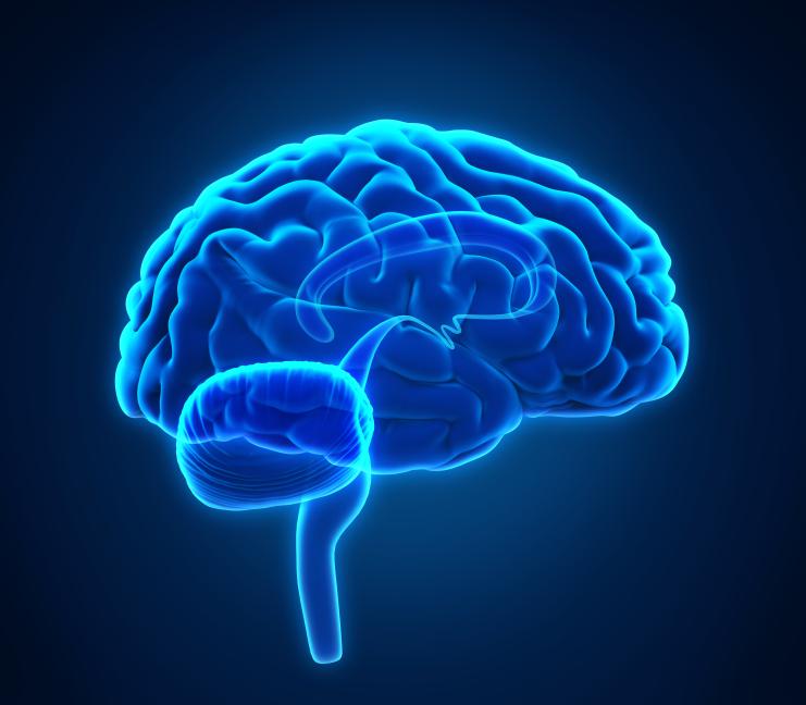 diagram of a human brain