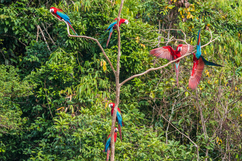 Peru, Amazon Rainforest, Macaws