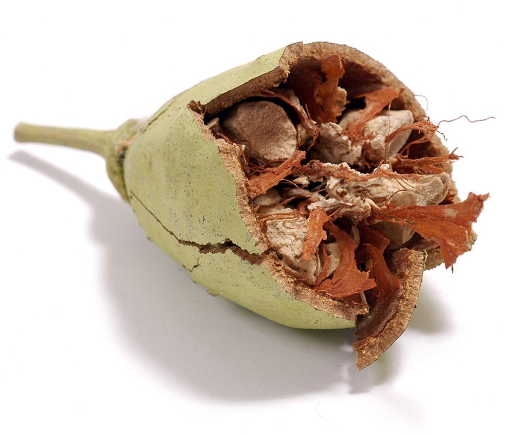 baobab-fruit