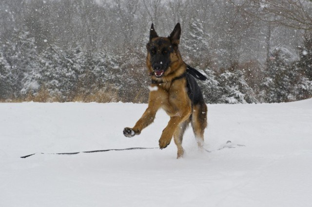 German shepherd runs in snow