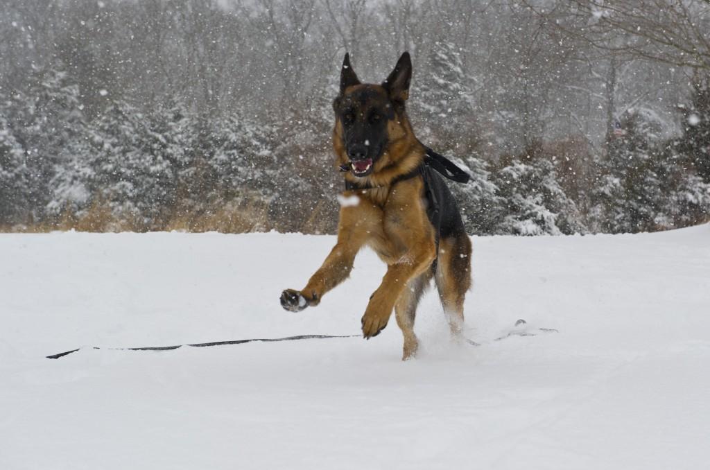 A German shepherd plays in the snow