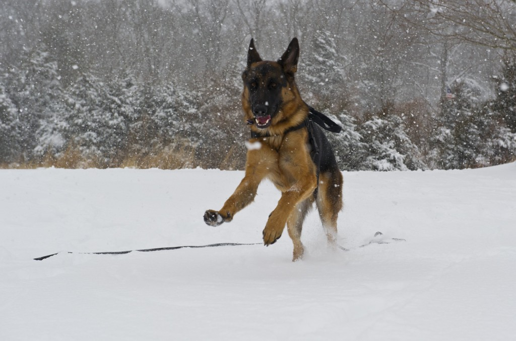 A German shepherd plays in the snow