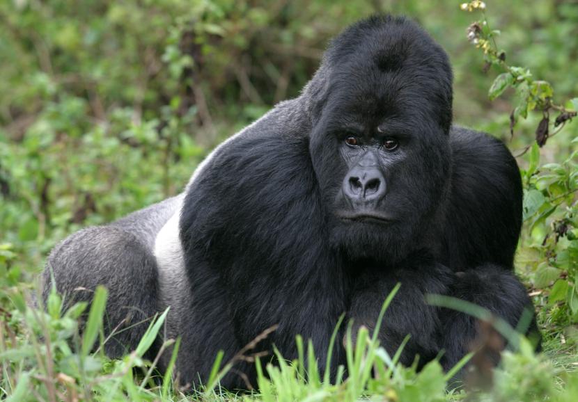 close-up of a male, silverback mountain gorilla