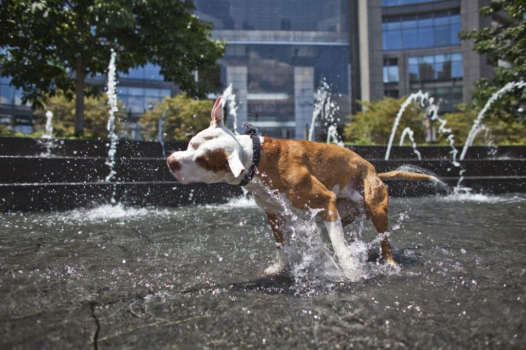 A Pit Bull plays in some water