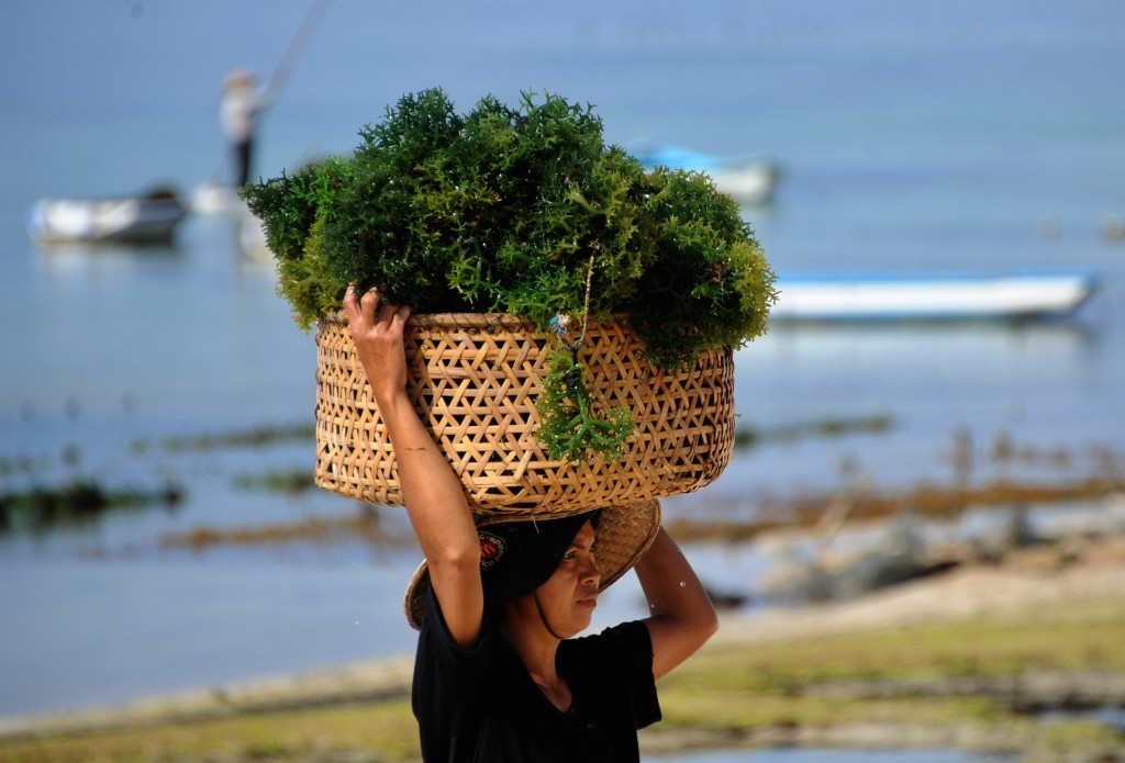 seaweed harvest
