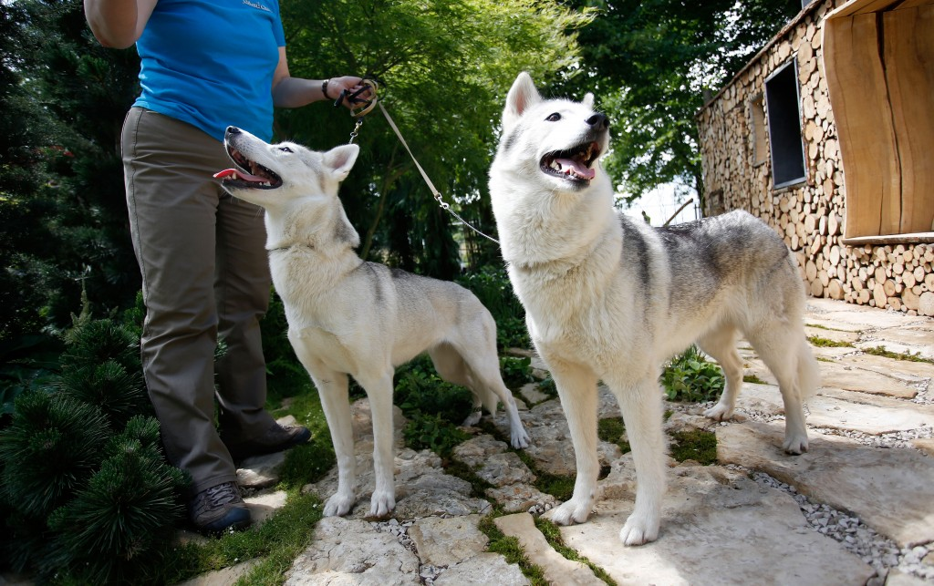 Siberian huskies with their owner