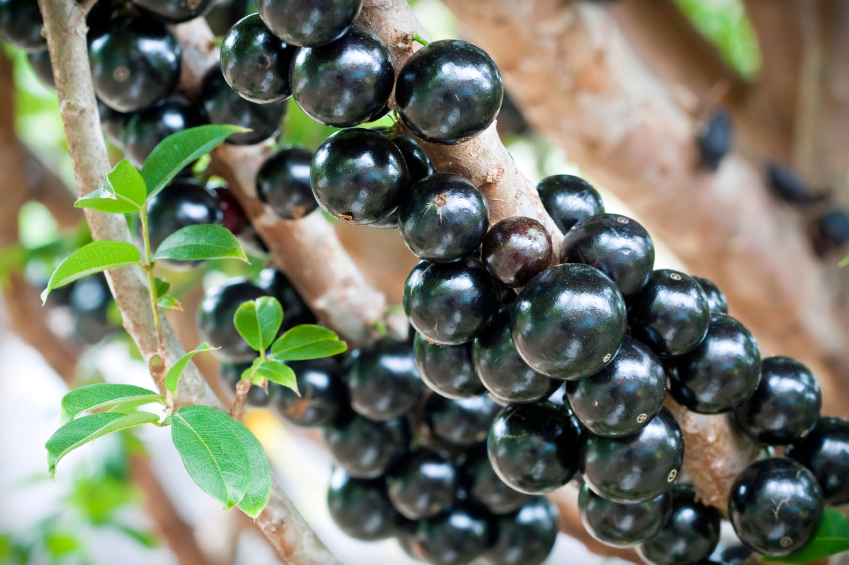 Jabuticaba on a tree branch