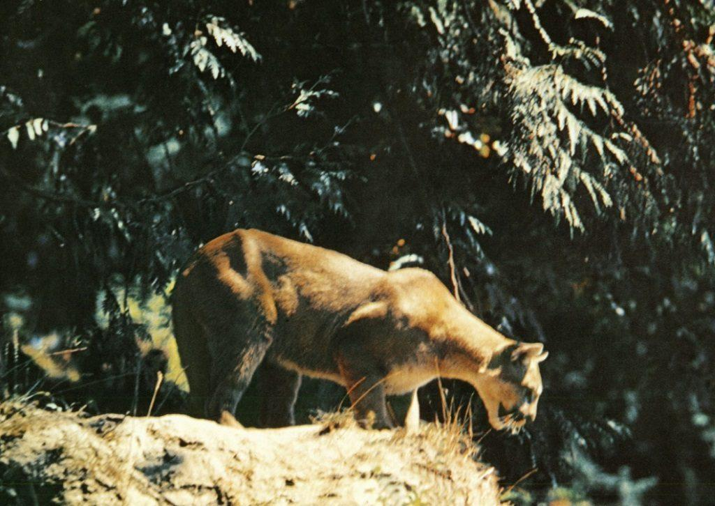 A mountain lion crouches on a rock in front of a large tree in a still from The Vanishing Prairie