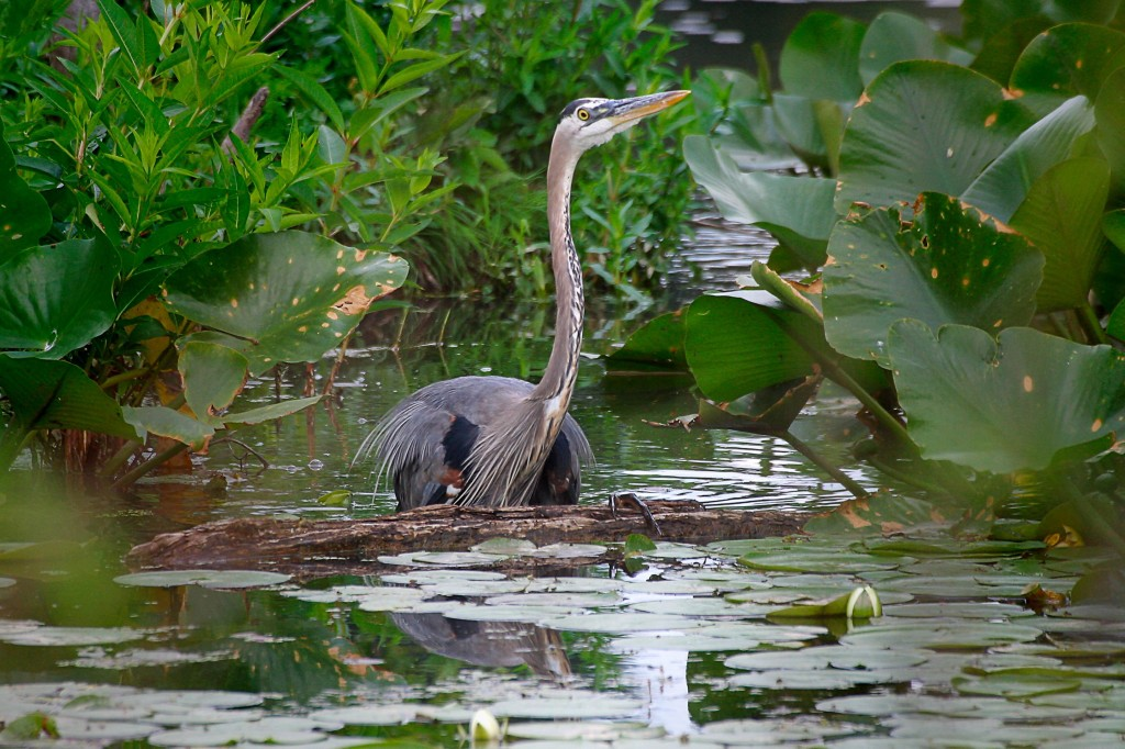 cuyahoga valley national park great blue heron