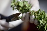 Legal Marijuana: Why the States Are Loosening The Leash