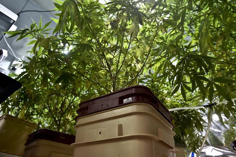 marijuana plants being grown inside