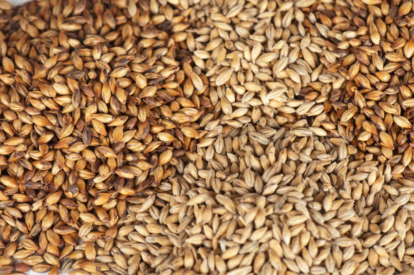 close up of malt grains