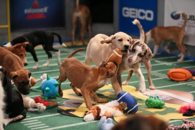 Dogs battling it out during the Puppy Bowl