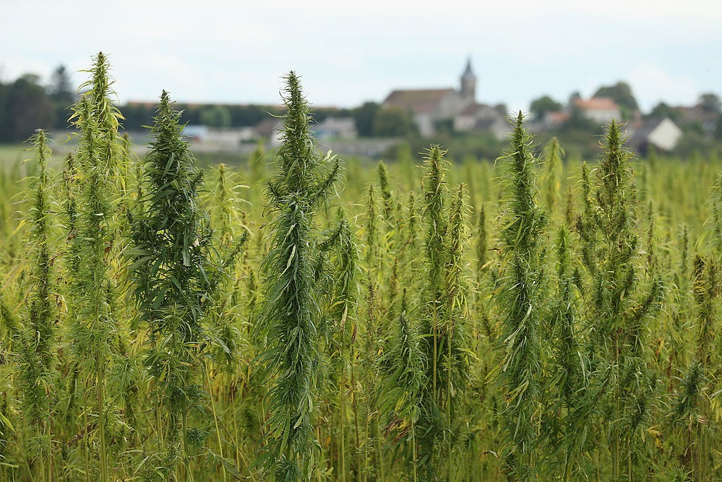 marijuana plants growing in field