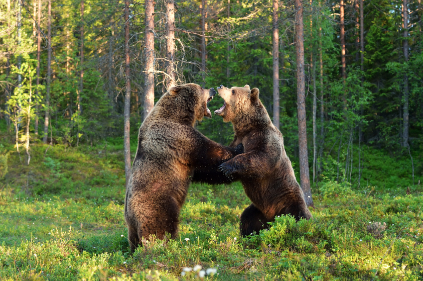 Two bears fighting in woods