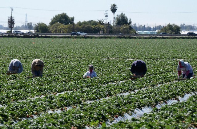 Migrant workers harvest strawberries at a farm