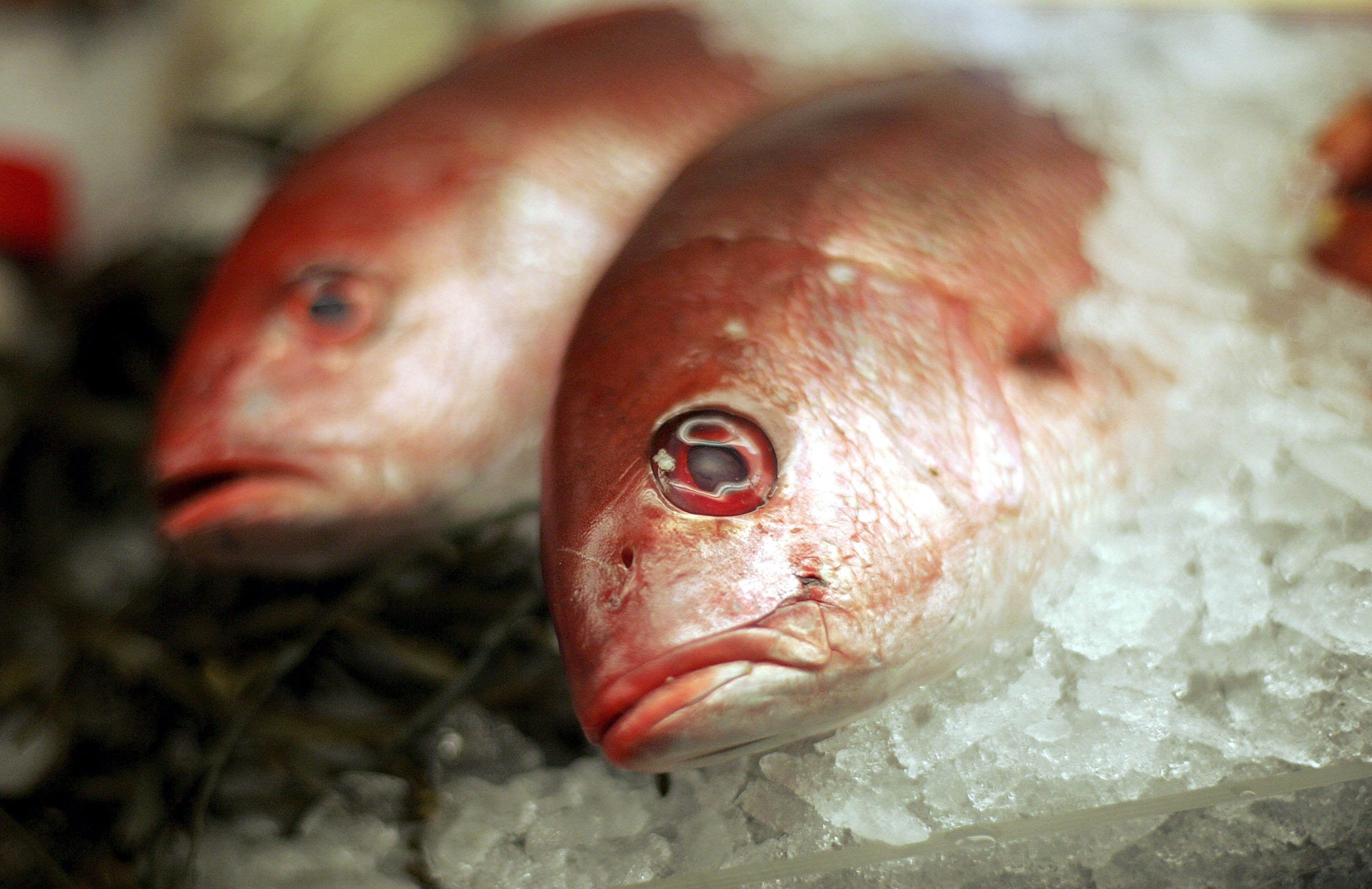 Fresh Red Snapper lies on ice