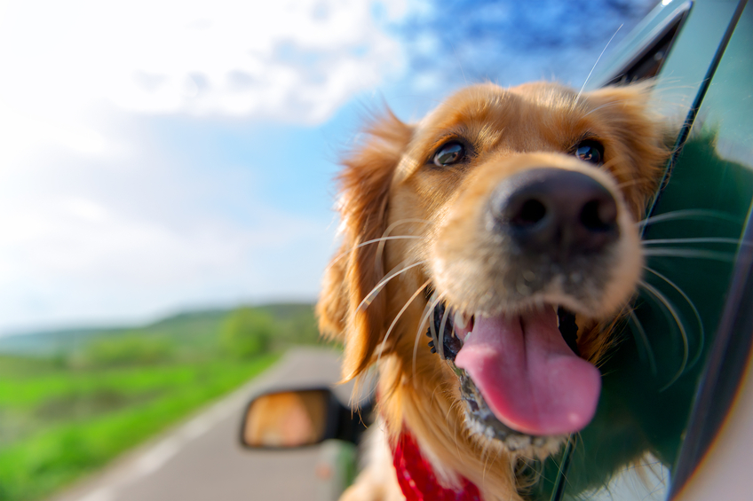 Golden Retriever dog looking out of car window