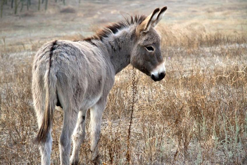 donkey in the desert.