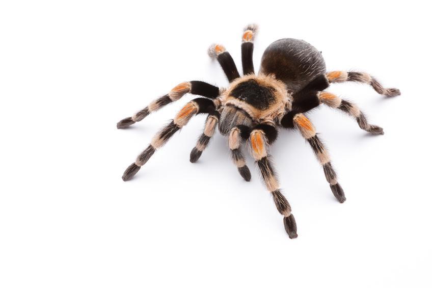 Mexican tarantula